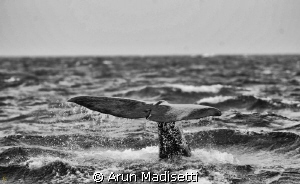 Sperm whale making a dive to over 1000m in search of food. by Arun Madisetti 